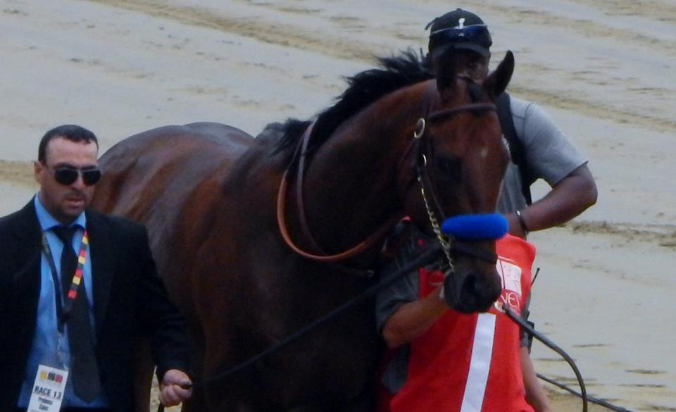 American Pharoah coming onto the track before the 2015 Preakness Stakes.