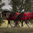 Handler walks the Budweiser Clydesdales at Keeneland